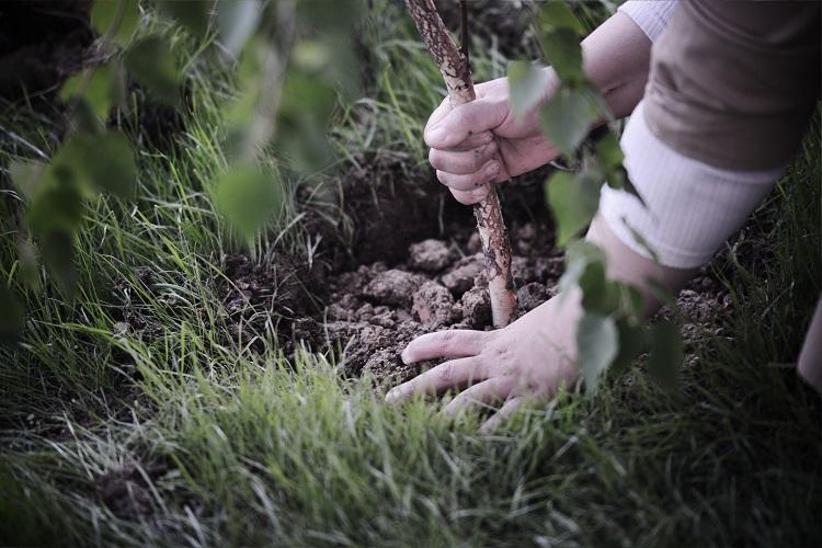 zasaditi_drevo